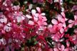 Pelargonium Peltatum thumbnail