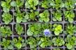 Pansy Plants thumbnail