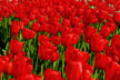 Red Tulips thumbnail