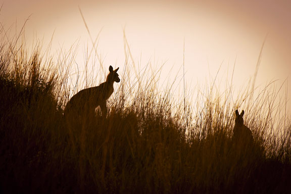 kangaroos in the australian outback