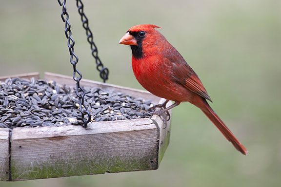 red cardinal on a bird feeder