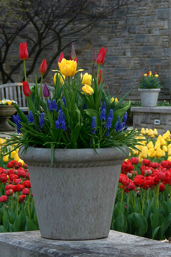 blooming tulips and hyacinths