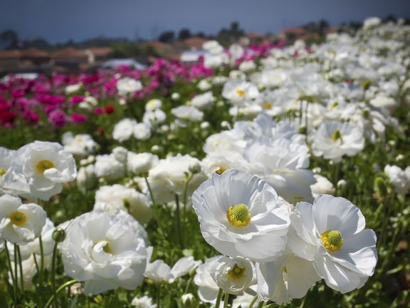 fields of flowers in San Diego County