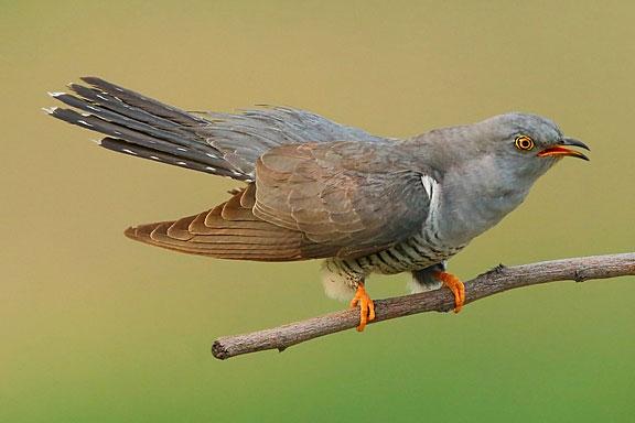 cuculus canoris bird on a twig