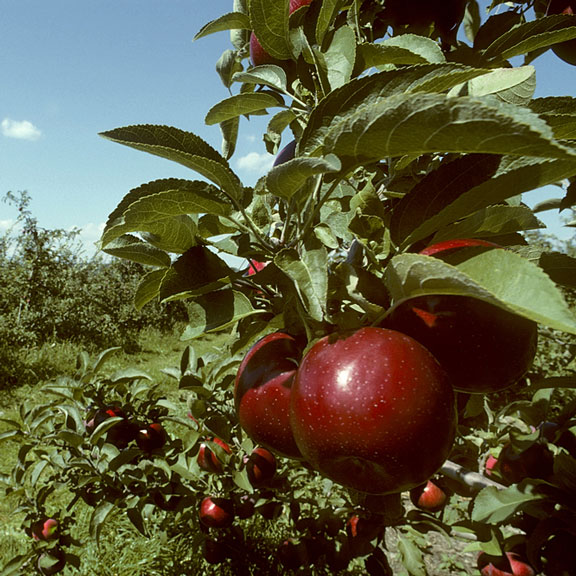 empire apples in an orchard