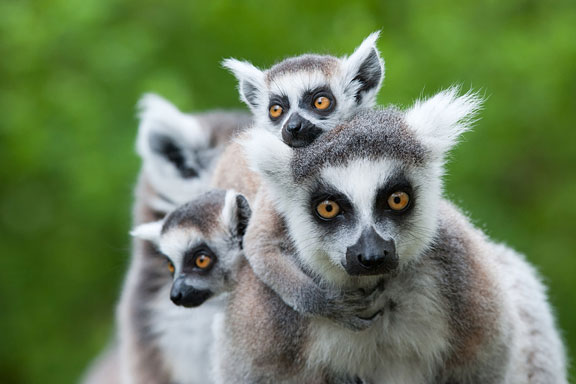 ring-tailed lemur species