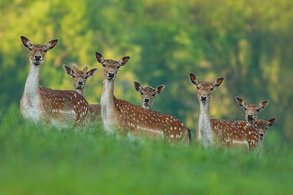 fallow deer family on a blurry forest background