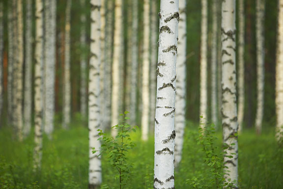 birch forest in Finland