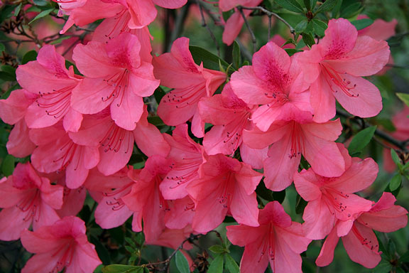flowering azalea blooms