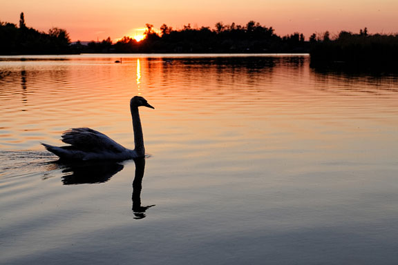 graceful swan on a lake at sunset