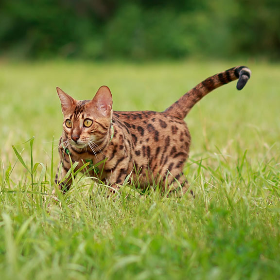 exotic bengal cat hunting outdoors