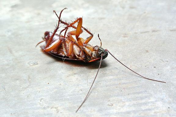 dead cockroach pest