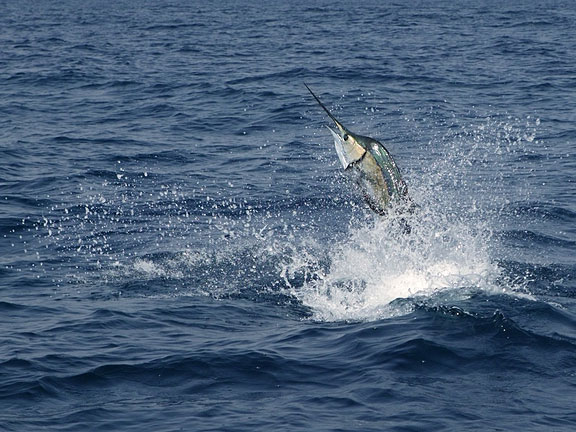 sailfish jumping in the deep blue sea