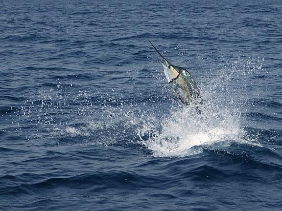 sailfish jumping in the deep blue sea