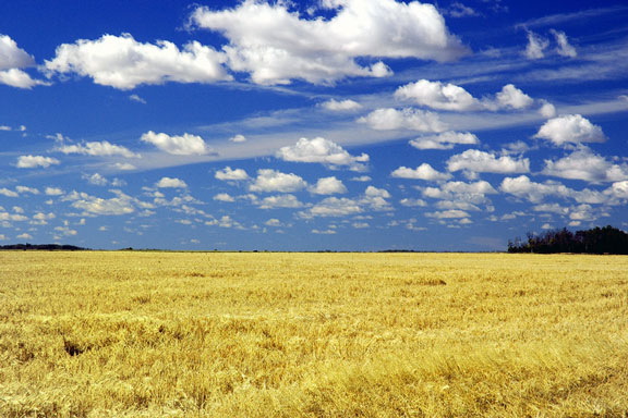 wheat field in Saskatchewan