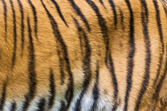 orange and black tiger stripes