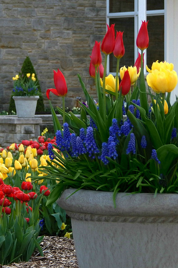 tulips, grape hyacinths, and a stone wall